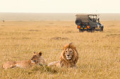 African lion couple and safari jeep in the Masai Mara, Kenya.