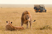 African lion couple and safari jeep in the Masai Mara in Kenya.