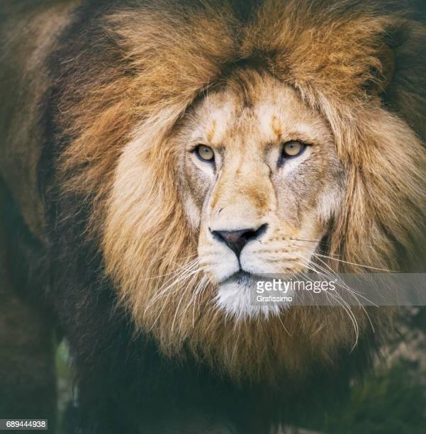 Tête de lion d'Afrique à la recherche d'appareil photo