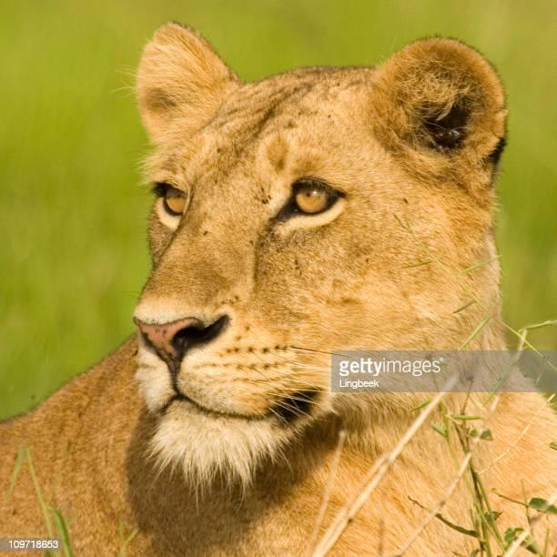 African Lion in Uganda