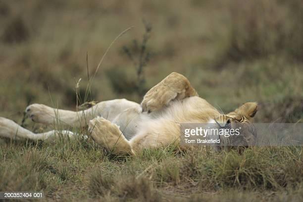 African lion (Panthera leo) laying on side, Kenya, Africa