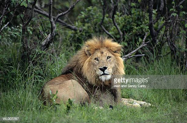African lion (Panthera leo) lying in grass