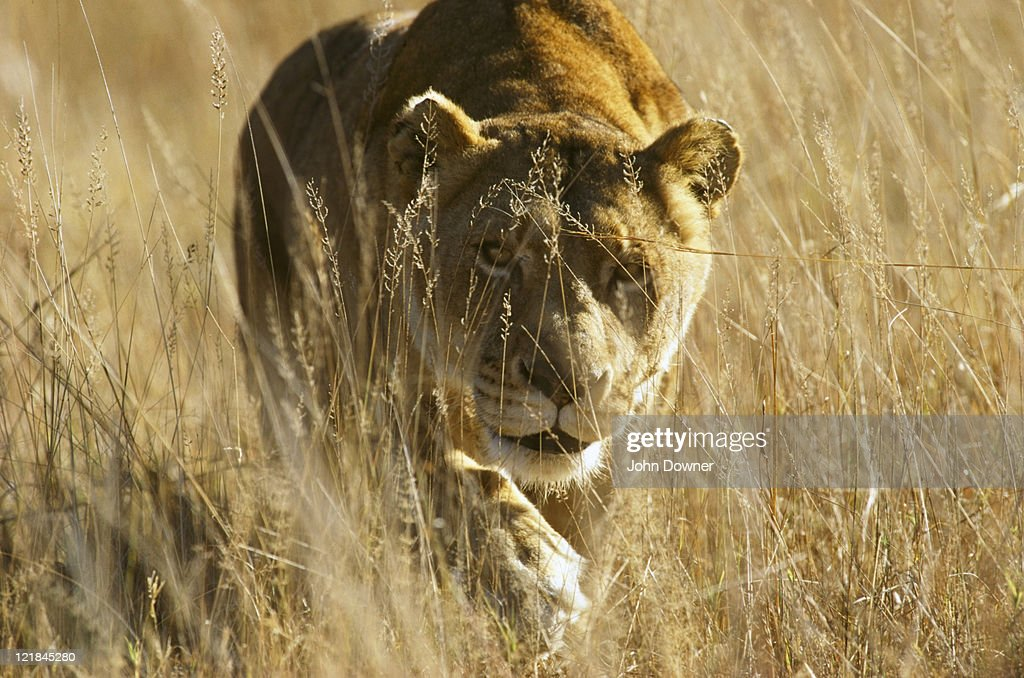 african lion, panthera leo, lioness in grass, zimbabwe