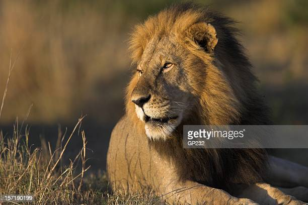 African lion resting under the sun