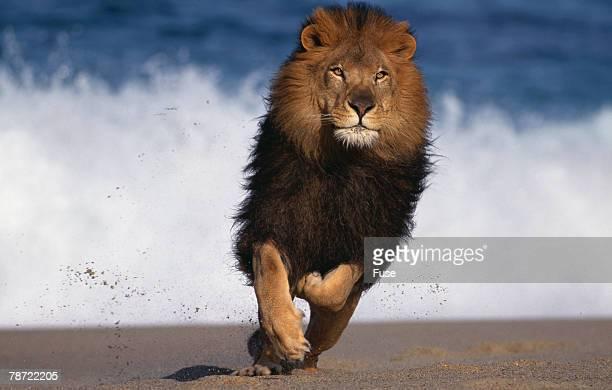 African Lion Running on Beach