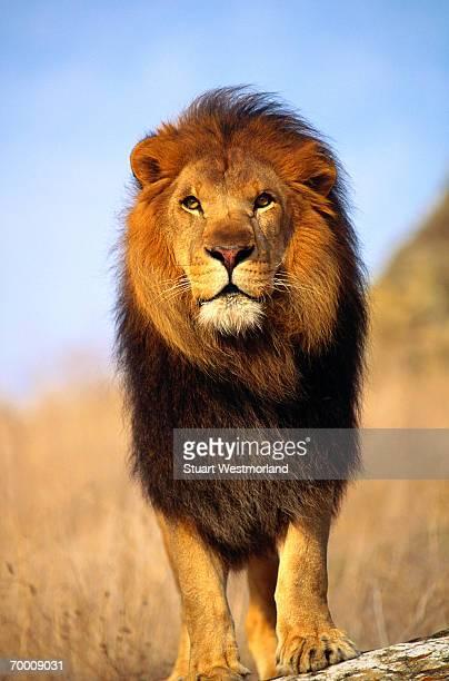 African lion (Panthera leo) Salinas, California, USA, close-up