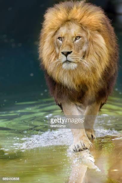 African lion walking towards to camera