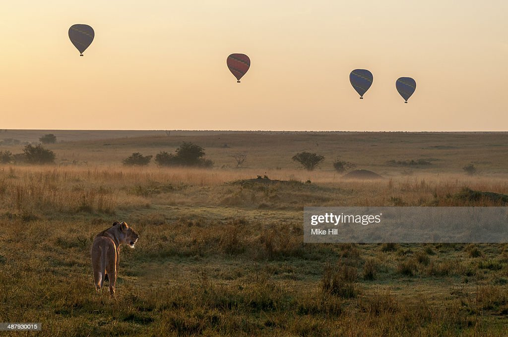 African Lioness and hot air balloons