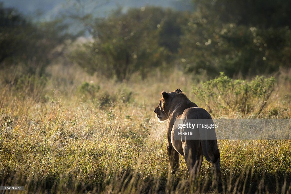 African lioness looking into the bush at sunrise : Stock Photo