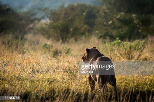 African lioness looking into the bush at sunrise : Foto de stock