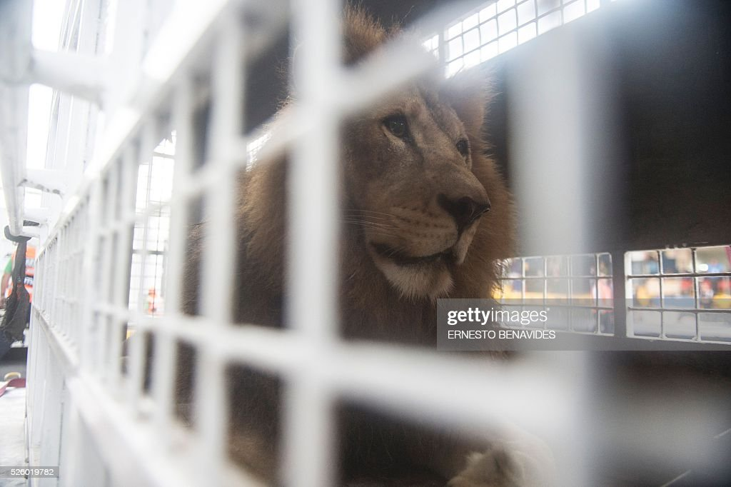 African lions born in captivity in Peru are embarked for Johannesburg, South Africa, in Lima on April 29, 2016. 33 lions, 24 from circuses in Peru and nine from Colombia, rescued by Animal Defenders International, are heading back to their homeland after both countries banned the use of wild animals in circuses. Their destination is the natural African bush at the Emoya Big Cat Sanctuary in South Africa. / AFP / ERNESTO