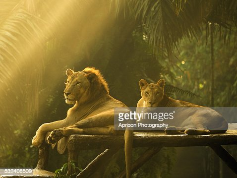 African Lions lying down under ray of light