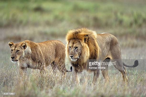 African Lions (Panthera leo), male and female, pair, Serengeti, Tanzania, East Africa
