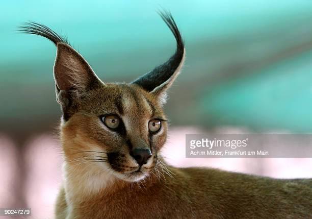 African lynx (Caracal caracal)
