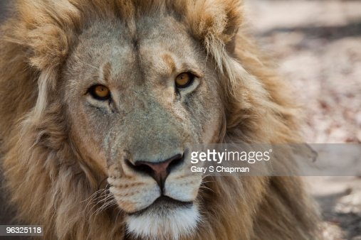 African male lion in Zimbabwe, Africa : Stock Photo