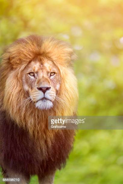 African male lion looking