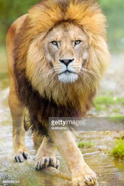 African male lion walking