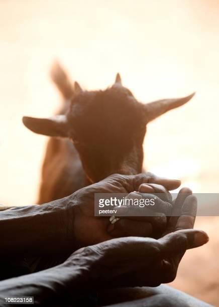 african man feeding  a goat