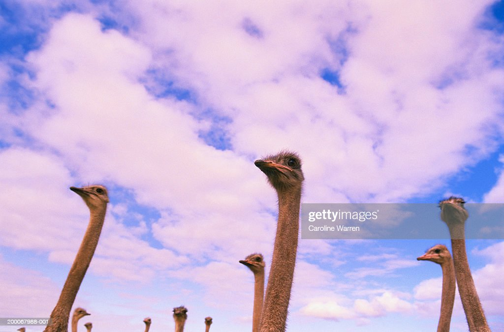 African Ostrich (Struthio camelus) head-shot, low angle view : Stock Photo