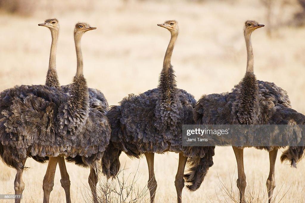 African Ostriches (Struthio camelus), Samburu, Kenya : Stock Photo