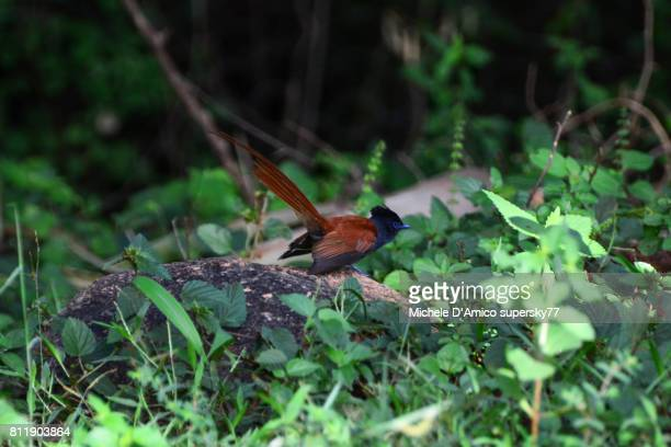African Paradise Flycatcher flying