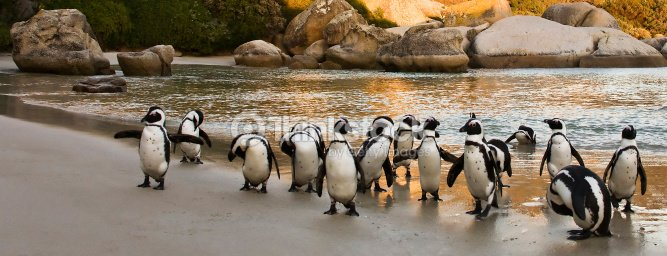 African penguin flock : Stock Photo