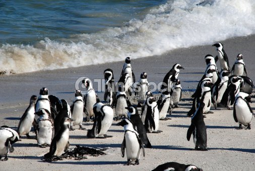 african penguins at Boulder Beach(South Africa) : Stock Photo