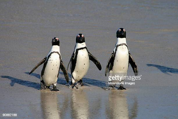African Penguins at Boulders Beach in Cape Town, South Africa