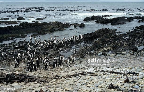 African Penguins Boulders Beach near Simons Town