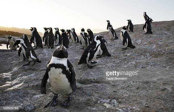 African penguins gather at the end of the afternoon at Boulders Beach June 292010 in Simon's Town South Africa The vulnerable species live in a...