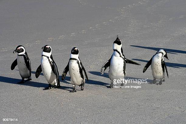 African Penguins on Boulders Beach in Cape Town, South Africa