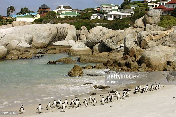 African Penguins waddle ashore to their colony at the Boulders outside Simon's Town in Table Mountain National Park on March 16 2009 near Cape Town...
