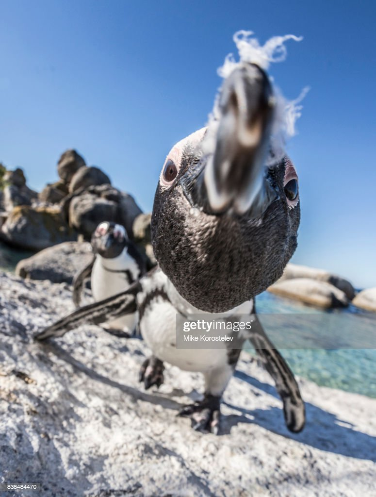 African penguins, wide angle portrait : Stock Photo