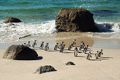 Boulders accomodates a colony of South African pinguins. The pinguins live in a part of the Table Mountain National Park, close to Cape Town, South Africa.