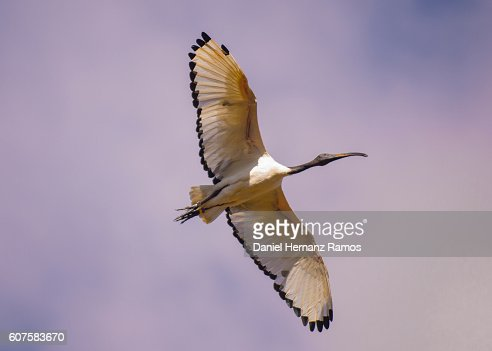 African sacred ibis flying close up seen from below