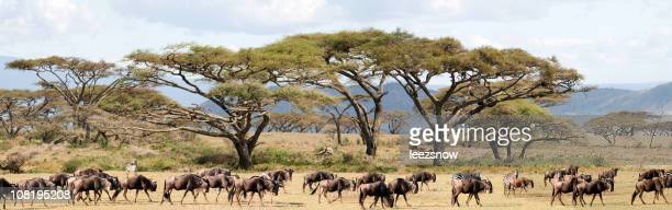 African Safari Wildebeest Migration With Acacia Trees Panorama