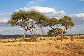 Umbrella thorn acacia in Tarangire park, Tanzania