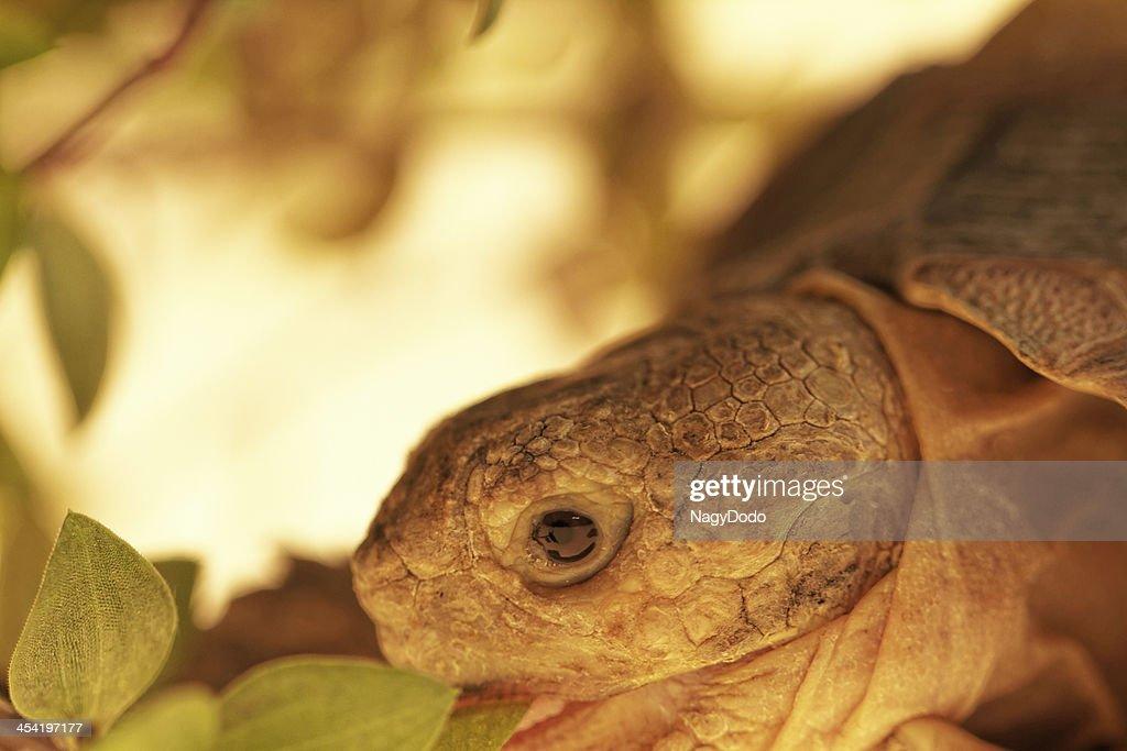 Tartaruga-de-esporas-africana : Foto de stock