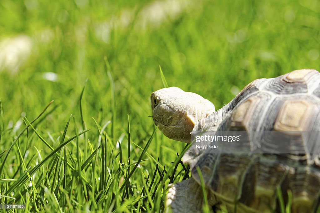 African Spurred Tortoise : Stock Photo