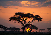 Typical african sunset with acacia trees in Masai Mara, Kenya. Horizontal shot. Sun behind a tree