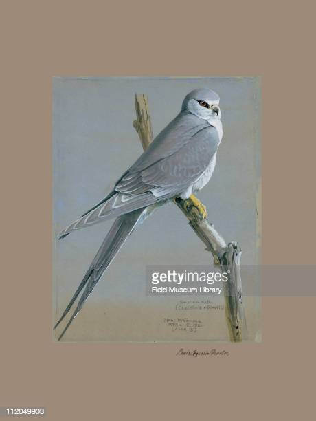 African Swallowtailed Kite Chelictinea riocourii Plate 14 a watercolor Louis Agassiz Fuertes 1927