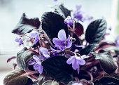 African Violet flowers of saintpaulia, close-up
