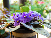 African violets (Saintpaulia), closeup of this beautifully colored purple flower.