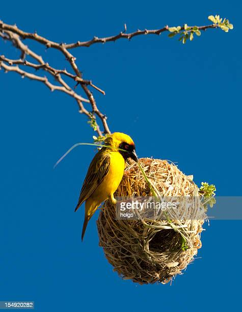 African Weaver Bird building its nest in Namibia