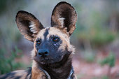 A portrait of an endangered African wild dog in the Southern Kalahari, South Africa.