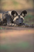 African Wild Dog resting with soft diffused foregound