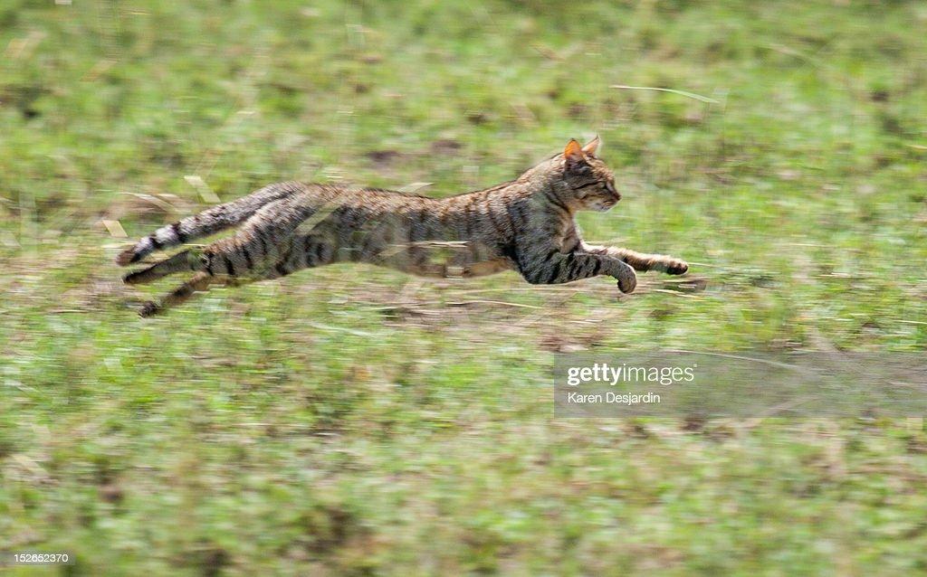 African Wildcat, Tanzania : Stock Photo