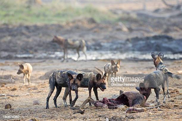 african wilddogs - Lycaon pictus - after a sucessfully hunt, they eat the kudu. Africa, Botswana, Linyanti, Chobe National Park, wildlife