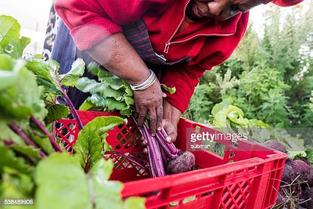 African Woman harvesting beetroot