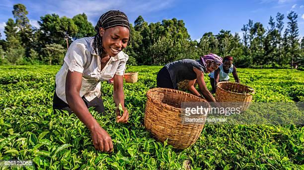 Afrikanische Frauen plucking Teeblätter auf plantation, Kenia, Osten und Afrika
